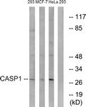 B1025-1 - Caspase-1
