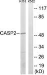 B1026-1 - Caspase-2