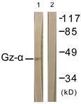 B1033-1 - G protein z alpha