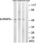 B1042-1 - hnRNP-K / HNRNPK