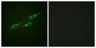 B1057-1 - CD213a1 / IL13RA1