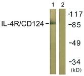 B1064-1 - CD124 / IL4R