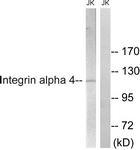 B1071-1 - CD49d / ITGA4