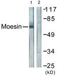 B1102-1 - Moesin