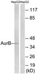 B1133-1 - Aurora kinase B