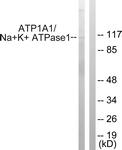 B1136-1 - ATP1A1