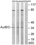 B1137-1 - Aurora kinase B