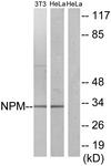 B1166-1 - Nucleophosmin