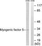 B1218-1 - Myogenic factor 5 (MYF5)