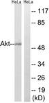 B7004-1 - AKT1 / PKB