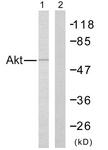 B7005-1 - AKT1 / PKB
