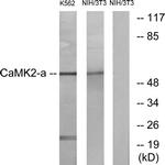 B7033-1 - CAMK2A