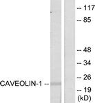 B7034-1 - Caveolin-1