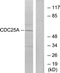 B7037-1 - CDC25A