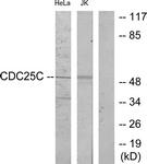 B7038-1 - CDC25C