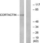 B7049-1 - Cortactin