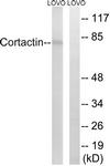 B7050-1 - Cortactin