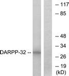 B7056-1 - DARPP32