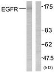 B7060-1 - EGFR / ERBB1