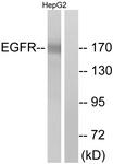 B7062-1 - EGFR / ERBB1
