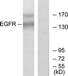 B7063-1 - EGFR / ERBB1