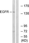 B7064-1 - EGFR / ERBB1