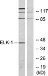B7069-1 - ELK1