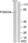 B7087-1 - FOXO3 / FKHRL1