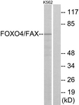B7088-1 - FOXO4 / AFX1 / MLLT7