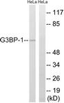 B7089-1 - G3BP1 / G3BP