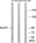 B7094-1 - Glutamate receptor 1 / GLUR1