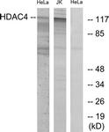 B7100-1 - HDAC4
