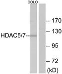 B7101-1 - HDAC5
