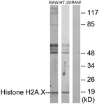 B7106-1 - Histone H2A.x