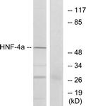 B7108-1 - HNF4 alpha / TCF14