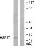 B7110-1 - HSPB1 / HSP27