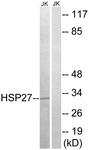 B7111-1 - HSPB1 / HSP27