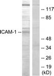B7113-1 - CD54 / ICAM1