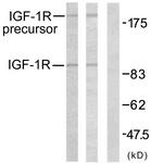 B7114-1 - CD221 / IGF1R