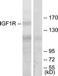 B7115-1 - CD221 / IGF1R