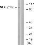 B7161-1 - NF-kB p105 / p50