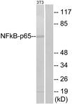 B7163-1 - RELA / NF-kB p65