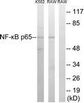 B7169-1 - RELA / NF-kB p65