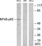 B7170-1 - RELA / NF-kB p65