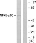 B7171-1 - RELA / NF-kB p65