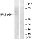 B7172-1 - RELA / NF-kB p65