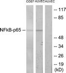 B7173-1 - RELA / NF-kB p65