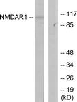 B7174-1 - NMDA Receptor 1