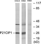 B7175-1 - CDKN1A / p21WAF1