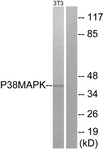 B7178-1 - MAP kinase p38 alpha / MAPK14
